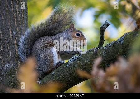 A Grey Squirrel is busy collecting and feeding on acorns in Barnett Demesne, Belfast, N.Ireland. - Stock Image