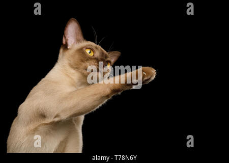 Cute Portrait of Playful Brown Burma Cat Raising up paw, play with toy, isolated on black background - Stock Image