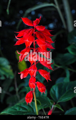 red salvia flower in Colombia - Stock Image