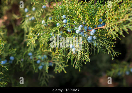 Juniper (Juniperus) fruits on the bush, coniferous plants. - Stock Image