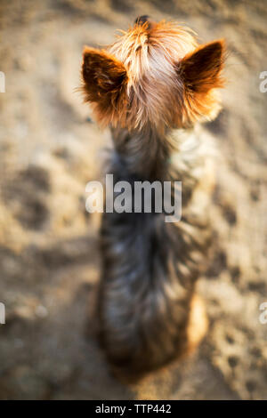 High angle view of Yorkshire Terrier relaxing on sand - Stock Image
