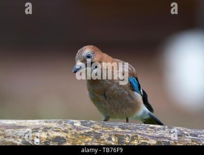 Detailed, close-up front view of wild, juvenile, British jay bird (Garrulus glandarius) isolated in natural UK outdoor habitat, perching on log. - Stock Image