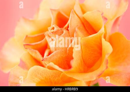 beautiful orange rose on pink still life - concept ageing Jane Ann Butler Photography JABP1842 - Stock Image