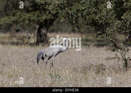 Common Crane, Eurasian Crane, Grus grus, Kranich, Extremadura, Spain, crane walking in dehesa with oak trees - Stock Image