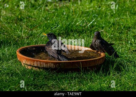 Wild birds starlings (Sturnus vulgaris) splashing and bathing in water bath - Stock Image