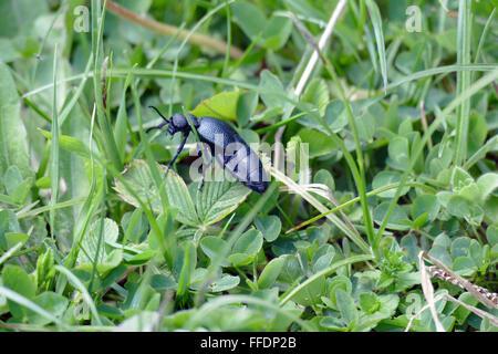 Beetle Black mother (Meloe proscarabaeus) damaging bee colonies. - Stock Image