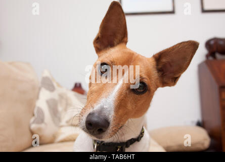 Jack Russell Terrier puppy, Head and shoulders portrait, England, UK - Stock Image