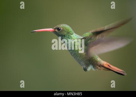A hummingbird hovering, Tayrona, Magdalena, Colombia - Stock Image