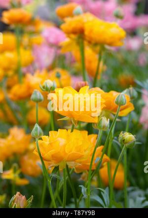 Ranunculus Rococo Orange flowers. - Stock Image