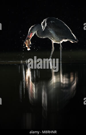 Juvenile Grey Heron (Ardea Cinera) backlit catching a fish at night in the rain - Stock Image