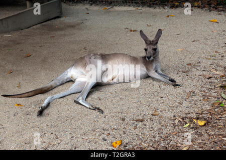 Close-up of a large  adult  Kangaroo, at Hartley's Crocodile Adventures wildlife sanctuary, Captain Cook Highway, Wangetti, Queensland, Australia. - Stock Image