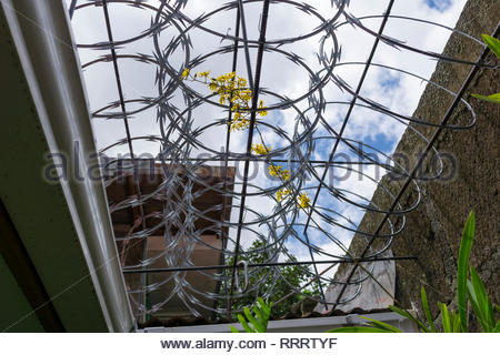 An Oncidium sends a flower spike through razor wire over a passageway open to the sky. - Stock Image