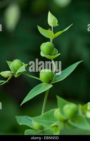 Caper spurge, Mole Plant (Euphorbia lathyrus, Euphorbia lathyris), fruits, Germany - Stock Image