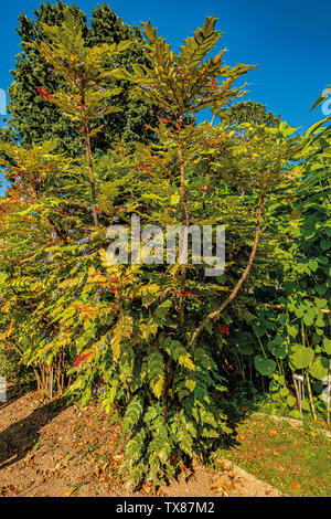 Italy Piedmont Turin Valentino botanical garden - Barberidaceae - Mahonia aquifolium Nutt. - hollyleaved barberry - Stock Image