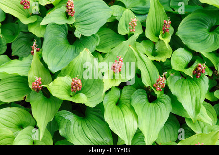 False Lily of the Valley plants at Rialto Beach in Olympic National Park in Washington state. - Stock Image
