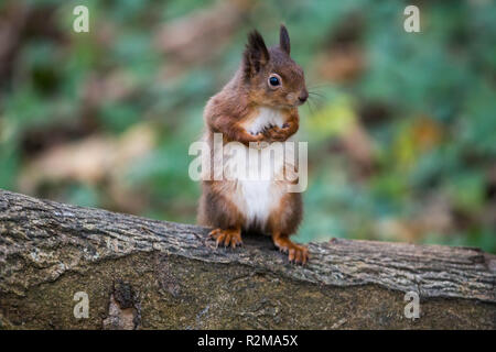 Red Squirrel  (Sciurus vulgaris) standing on back legs in the forest - Stock Image