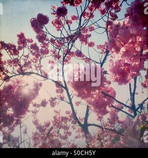 Backlit Yokohamahizakura, a variety of Sakura or cherry blossom with deep pink color. Vignette and vintage paper - Stock Image