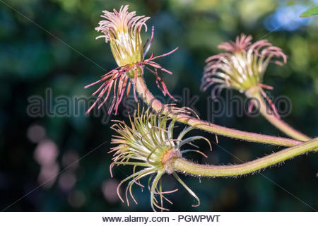 Purple Clematis jackmanii, after petals have fallen in early August - Stock Image