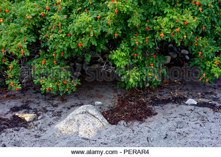 Beach rose in the late Summer, Owls Head, Maine, USA - Stock Image