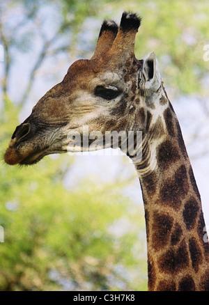 Giraffe Giraffa camelopardalis Mala mala Kruger South Africa - Stock Image