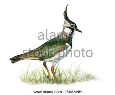 lapwing vanellus vanellus - Stock Image