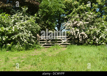 A five bar gate in a hedgerow with Hawthorn in blossom. - Stock Image