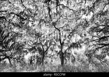 Black and White of live oaks draped in Spanish moss at sunrise, Circle B Bar Reserve, Polk County, near Lakeland, Florida. - Stock Image