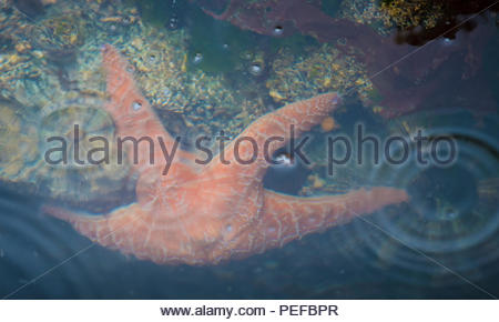 Sea Star at St. George Island. - Stock Image