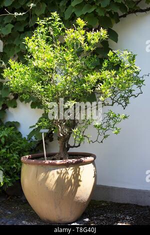 Poncirus trifoliata - Flying Dragon - plant, at Lan Su Chinese Garden in Portland, Oregon, USA. - Stock Image