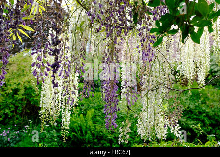 flowering white and blue wisteria flowers in garden, norfolk, england - Stock Image