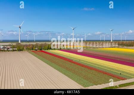 Aerial view of the tulip fields and wind turbines  in North Holland, The Netherlands - Stock Image