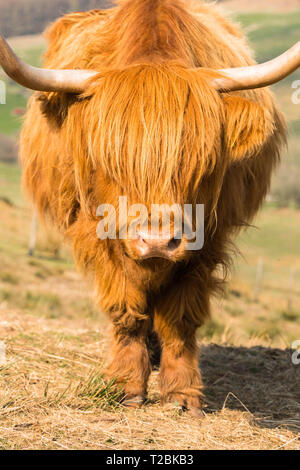 Highland cattle in the Welsh hillsides above Hay-on-Wye Powys UK. - Stock Image