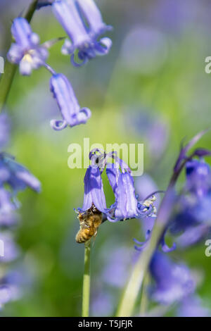 Honey bee collecting nectar pollen from bluebell wild flower in woodland countryside - Stock Image