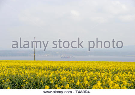 Bo'ness, UK. 15th April, 2019.  UK Weather. A field of Rape glows in the sunshine in the hills above Bo'ness as a container ship passes along the River Forth. Credit: Roger Gaisford/Alamy Live News - Stock Image