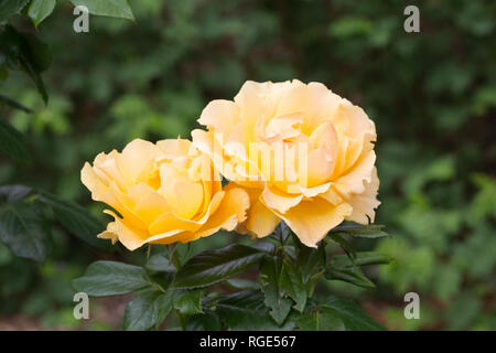Rosa Gold Spice 'Frymega'. Yellow shrub rose in an English garden. - Stock Image