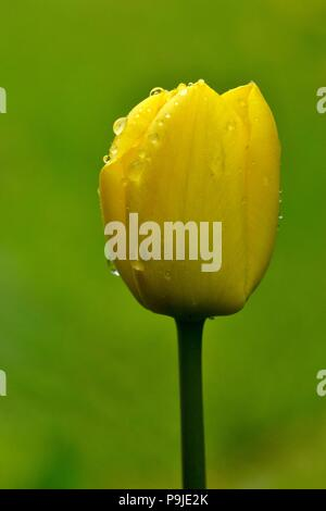 close up macro tulip with water drops - Stock Image