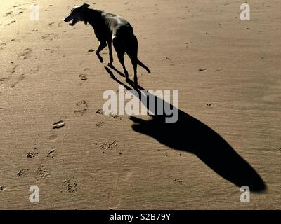 A dog casts a long shadow on a beach. This is the photographers dog offered with full release. - Stock Image
