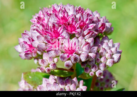 Orpine (sedum telephium), also known as Livelong, a close up of the flowers emerging from the buds. - Stock Image
