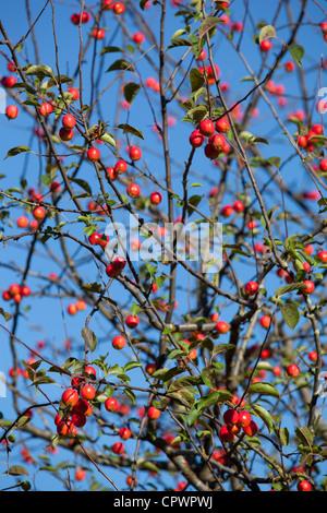 Red sentinel ( malus x robusta ,  crab apple tree ) apple tree and apples - Stock Image