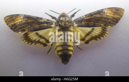 Deaths Head Hawk Moth pinned in a display. - Stock Image