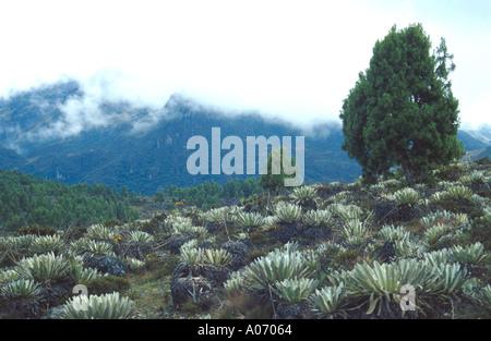 Frailejon Plants in a Sierra Nevada Landscape, Venezuela - Stock Image