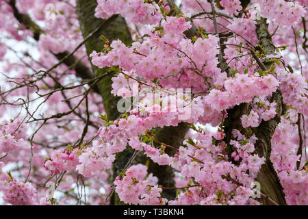 Cherry blossom brightens up a March day. - Stock Image