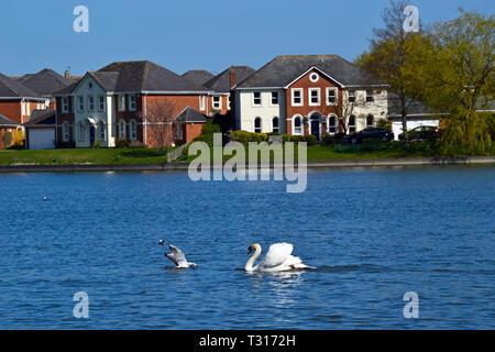 Mute swan chasing a seagull on Watermead, Aylesbury, Buckinghamshire, UK - Stock Image