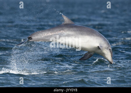 Bottlenose dolphins breaching in the waters of the Moray Firth, near Chanonry Point, in the Scottish Highlands. - Stock Image