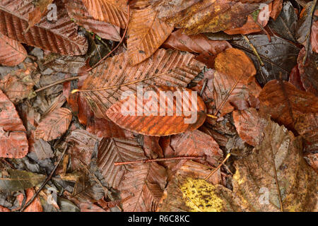 Close Up of Autumn Leaves - Stock Image