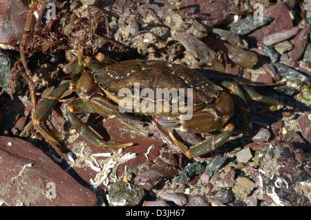 Green shore crab (Carcinus maenas: Portunidae) UK - Stock Image
