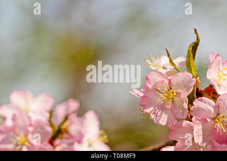 Sakura flowers or Japanese cherry blossoms in spring. Symbols of purity, resurrection, life and beauty. Can be used as natural floral backgrounds. Spa - Stock Image
