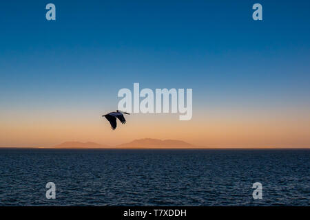 Brown pelican (Pelecanus occidentalis) in flight over the Pacific Ocean with mountains in haze at sunrise near Baja Californa Sur, Mexico. - Stock Image