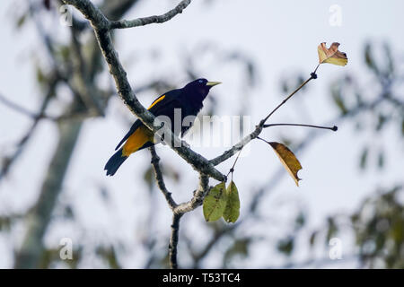 Yellow-rumped cacique, Cacicus cela, weaving the nest - Stock Image