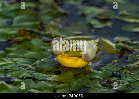 The common Green Frog (Lake Frog or Water Frog) in the water in Danube Delta. Closeup frog photography at sunrise - Stock Image